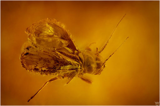 193. Psocoptera, Staublaus, Baltic Amber