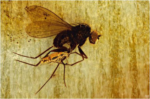 205. Dolichopodidae, Langbeinfliege, Staphylinidae, Kurzflügelkäfer, Baltic Amber
