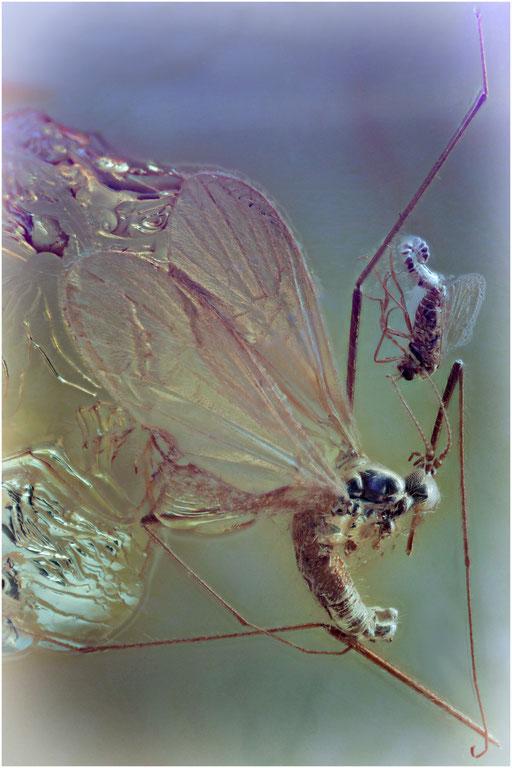 63. Limoniidae, Stelzmücke, Baltic Amber