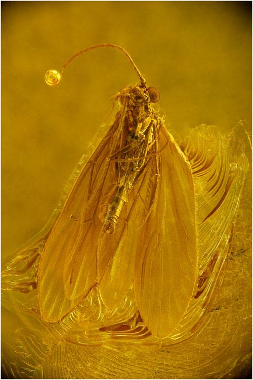 221. Trichoptera, Köcherfliege, Baltic Amber