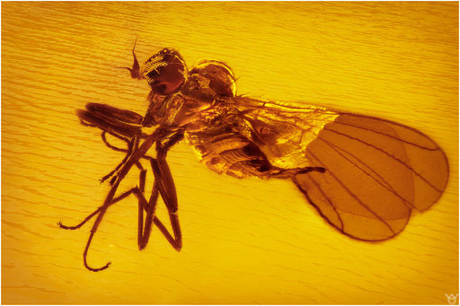 233. Brachycera, Fliege, Baltic Amber
