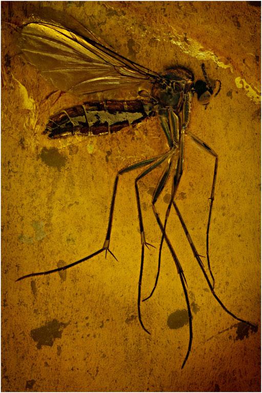 148a. Mycetophilidae, Pilzmücke, Baltic Amber