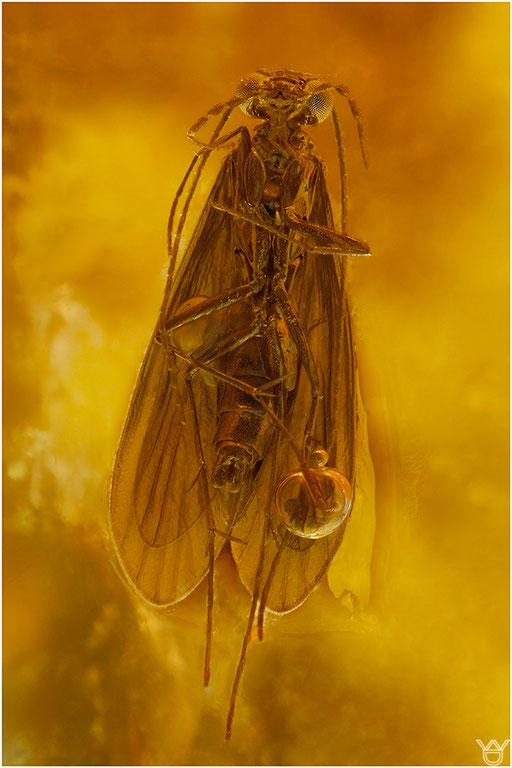 545. Trichoptera, Köcherfliege, Baltic Amber