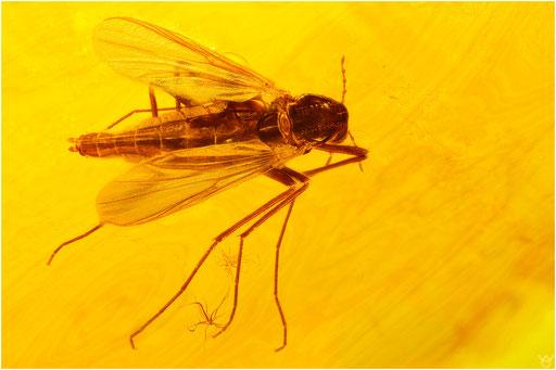 291. Diptera, Mücke, Baltic Amber