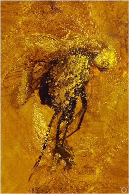 231a. Brachycera, Fliege, Baltic Amber