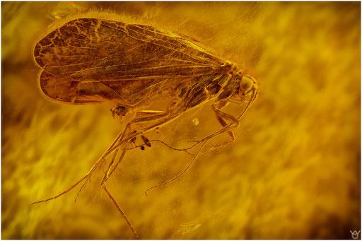 35. Trichoptera, Köcherfliege, Baltic Amber