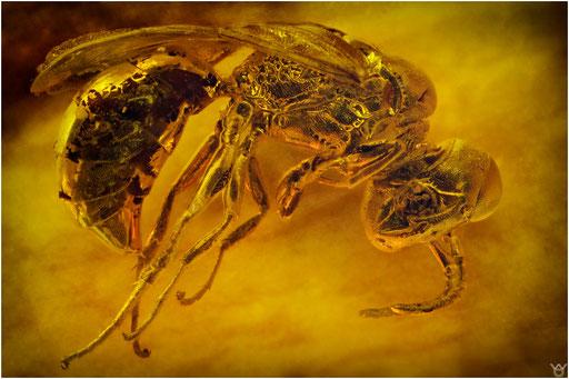 308. Crabronidae, Grabwespe, Baltic Amber