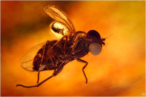 544. Brachycera, Fliege, Baltic Amber