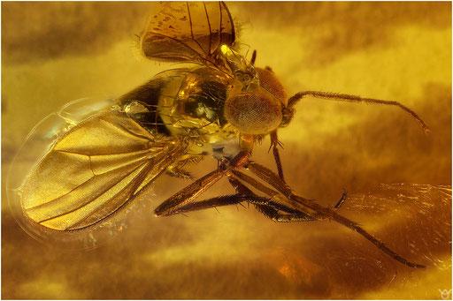 274. Brachycera, Fliege, Baltic Amber
