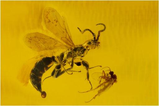 433. Hymenoptera, Wespe, Baltic Amber