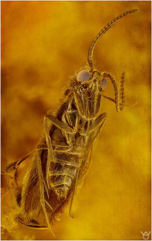 470. Trichoptera, Köcherfliege, Baltic Amber