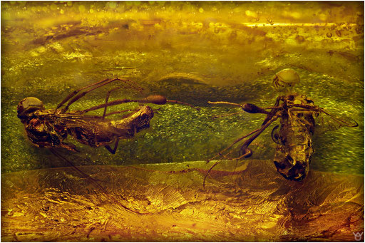209. Acroceridae, Spinnenfliege, Dominican Amber