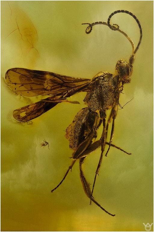 273. Hymenoptera, Wespe, Baltic Amber