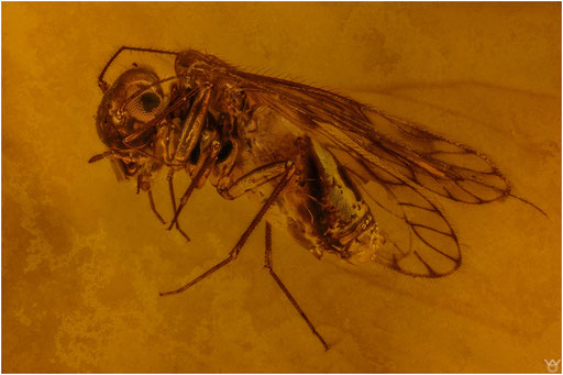 207. Psocoptera, Staublaus, Dominican Amber