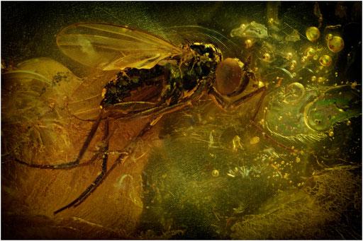 298a. Brachycera, Fliege, Baltic Amber