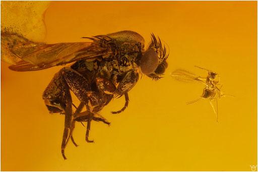 266. Phoridae, Rennfliege, Baltic Amber