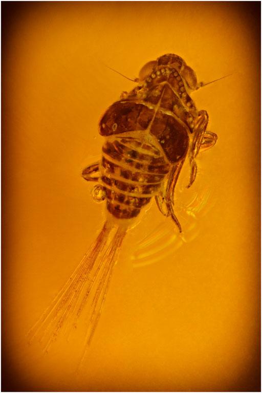 248. Cicadina, Zikade,  Dominican Amber