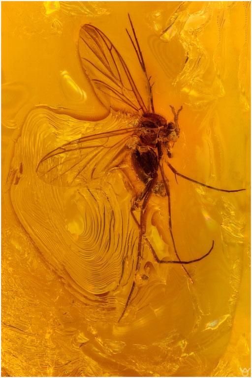 3. Nematocera, Mücke, Baltic Amber
