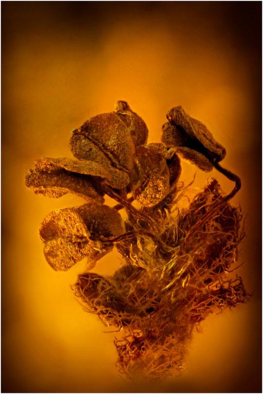 7005, Eichenblüte, Baltic Amber