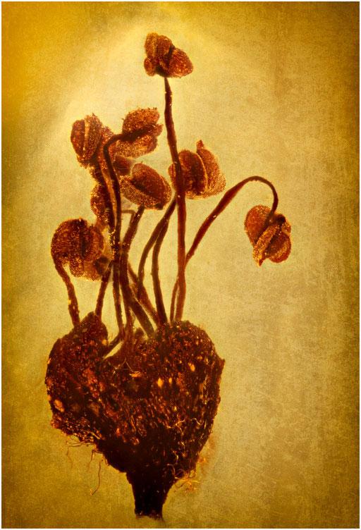 7026, Eichenblüte, Baltic Amber