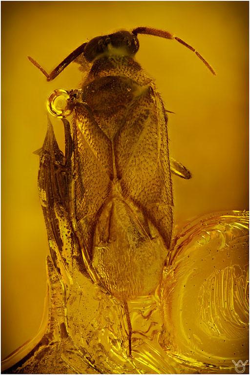 251. Miridae, Weichwanze, Baltic Amber