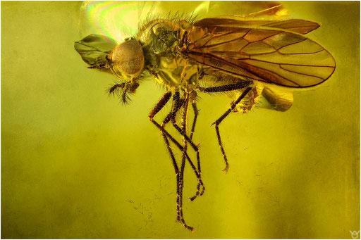 486. Rhagionidae, Schnepfenfliege, Baltic Amber