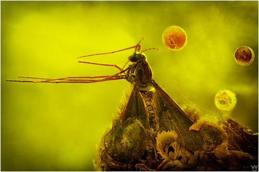 316. Nematocera, Mücke, Baltic Amber