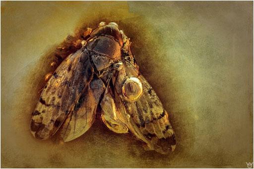 330. Cicadina, Zikade, Dominican Amber