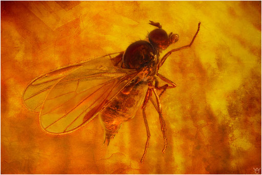 539. Brachycera, Fliege, Baltic Amber