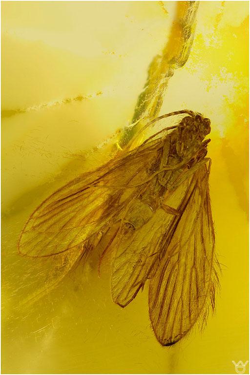 343. Trichoptera, Köcherfliege, Baltic Amber