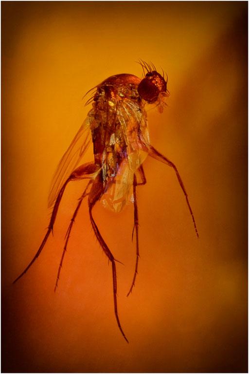 158b. Phoridae, Buckelfliege, Baltic Amber