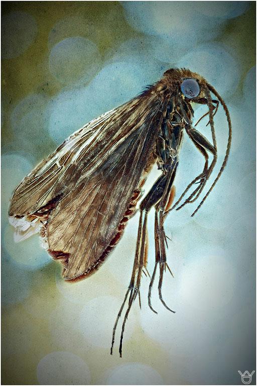 320. Trichoptera, Köcherfliege, Baltic Amber