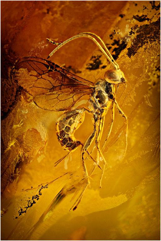 342. Braconidae, Brackwespe, Baltic Amber
