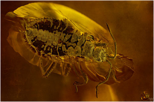 7, Heteroptera, Wanze, Baltic Amber
