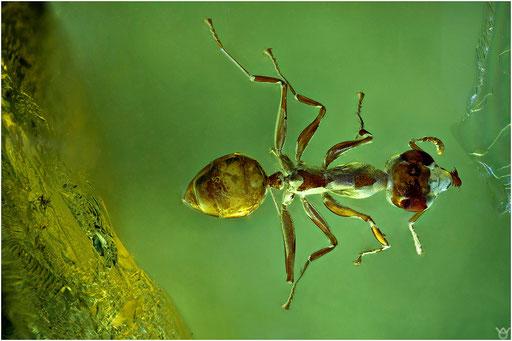 527. Formicidae, Ameise, Dolichoderinae, Drüsenameise,  Baltic Amber