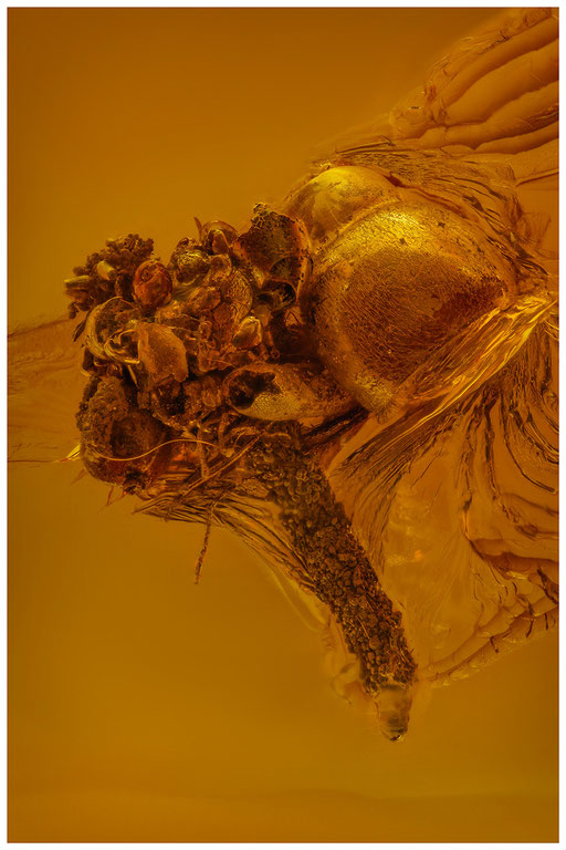 7210, Baltic Amber