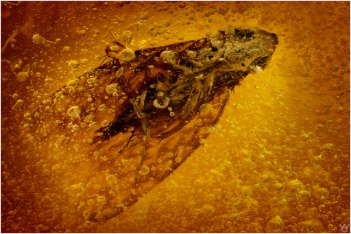 263a. Cicadine, Zikade, Dominican Amber