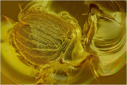 237. Psocoptera, Staublaus, Kuenowi, Baltic Amber