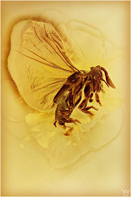 228. Strepsiptera, Fächerflüggler) Baltic Amber