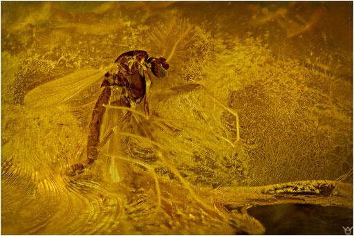 499.  Nematocera, Mücke, Chironomidae, Zuckmücke, Baltic Amber