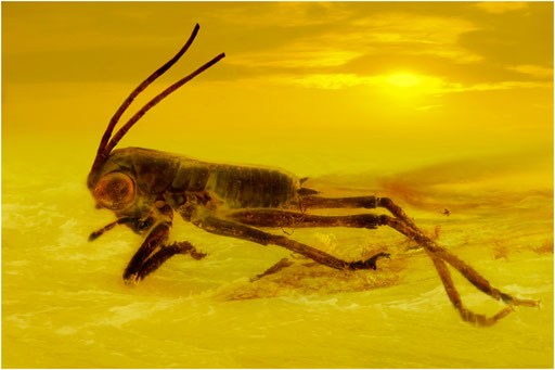449. Orthoptera, Laubheuschrecke, Baltic Amber