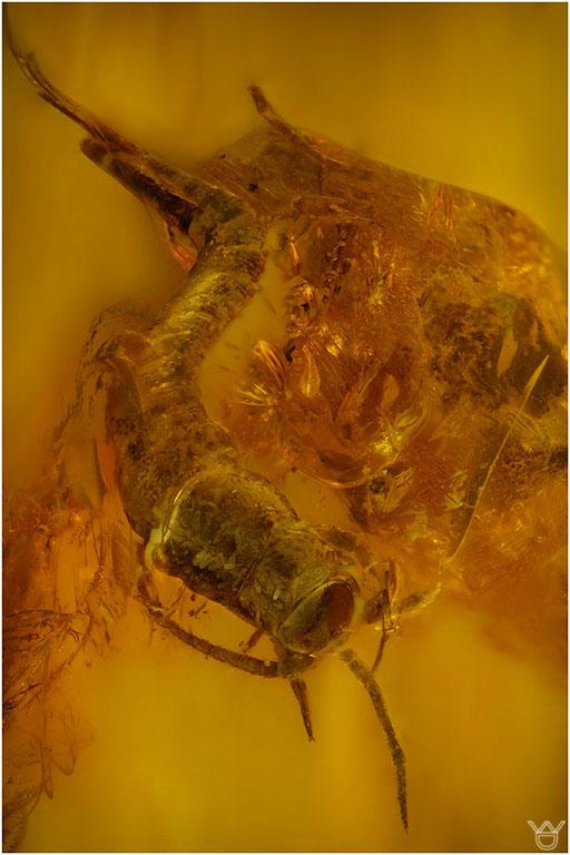 349. Archaeognatha, Felsenspringer, Baltic Amber