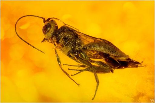 334. Hymenoptera, Wespe, Baltic Amber