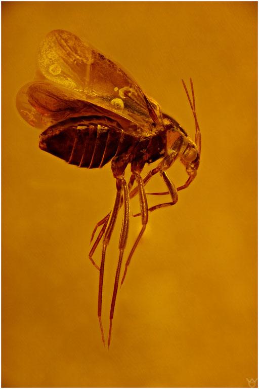 2. Heteroptera, Wanze, Baltic Amber
