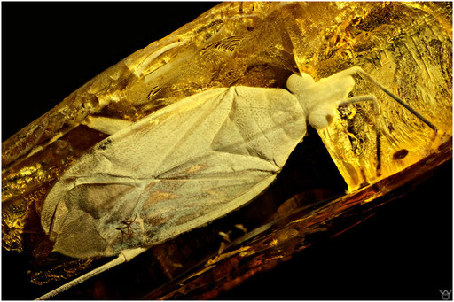 13. Heteroptera, Wanze, Baltic Ambe