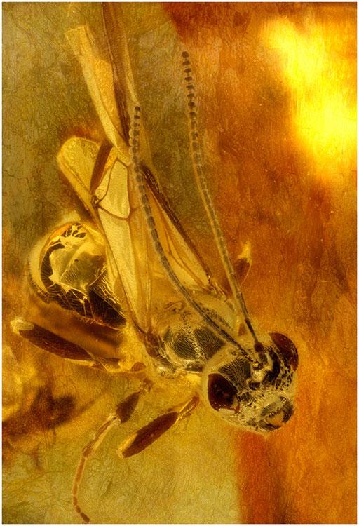 201. Braconidae, Brackwespe, Baltic Amber