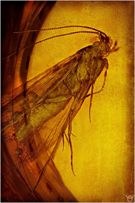 270b. Trichoptera, Köcherfliege, Dominican Amber