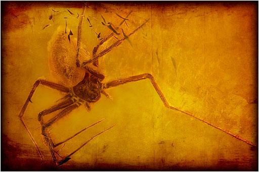 142. Araneae, Spinne, Baltic Amber