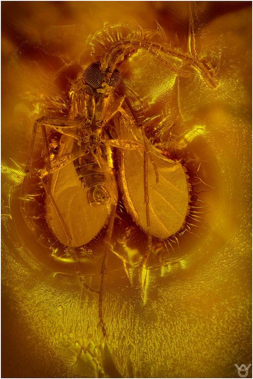 325. Nematocera, Mücke, Baltic Amber