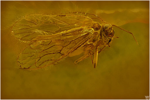 47. Psocoptera, Staublaus, Baltic Amber